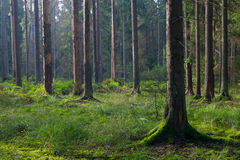 Early morning in the forest with spruces Stock Image