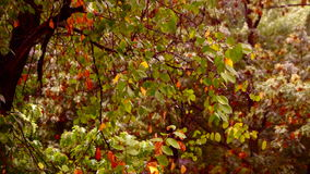 Early autumn rain with sound.September rain  on my window. September rain  on my window. Beautiful  leafs of a tree during a autumn rainstorm with rain falling stock video footage