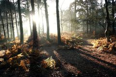Early autumn sun throgh trees. Shafts of sunlight early morning in woods casting shadows and lighting foliage Stock Photos