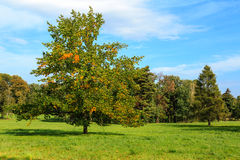 Early autumn tree Stock Image