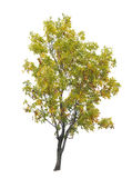 Early autumn tree isolated on white Royalty Free Stock Images