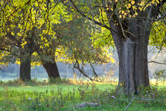Early autumn tree. Autumn tree stands on green grass on a forest background Stock Photography