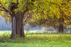 Early autumn tree. Autumn tree stands on green grass on a forest background Stock Photo