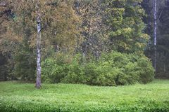 Early autumn tree. S with yellow leaves and green grass. One birch tree on foreground Stock Image