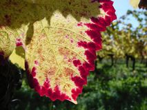 Early autumn vine taste and colour. Colourful vine leaf in bright sun conditions with vineyard on the background, brilliant intense red and yellow colours stock photography