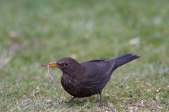 Common Blackbird. The Early Bird Catches the Worm Royalty Free Stock Images