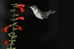 Early Bird. Hummingbird feeding early morning on red salvia with black background stock images