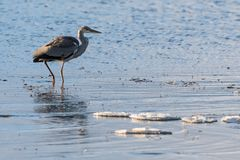 Early bird in water with ice floes Stock Photos