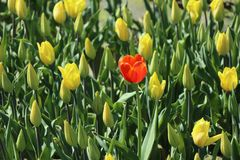 Red tulip in the oasis of yellow tulips. Early bloom. Stock Photos