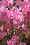 Early Blooming Azalea Royalty Free Stock Photo
