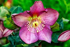 Hellebores red - Christmas rose- Lenten rose. Early-blooming Hellebores, sometimes known as the Christmas or Lenten rose royalty free stock photos