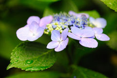 Early blooming Hydrangea Hortensia Royalty Free Stock Images