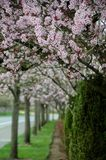 Early blossom in cherry alley in Seattle suburb Royalty Free Stock Photography