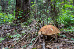 Early boletus Royalty Free Stock Image