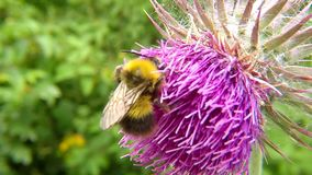 The early bumblebee on thistle. In summer in Germany stock video footage
