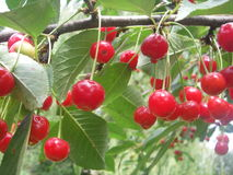 Early cherry. Growing on the tree in the garden during summer Stock Image