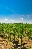 Early Corn Stock Photo