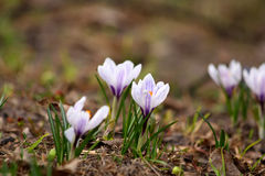 Early crocuses Royalty Free Stock Image