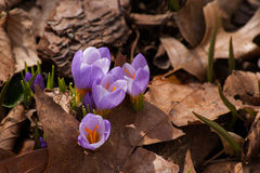 Early crocuses seeking sunlight Stock Images