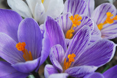 Early crocuses in spring blooms in flower garden Royalty Free Stock Photos