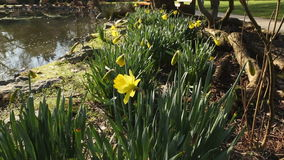 Early Daffodils by Pond stock video footage
