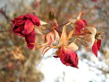 Early death. Roses killed by the frost Stock Image