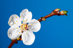 Early dew on apricot blossom Stock Photo