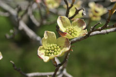 Early Dogwood Flowers Stock Images