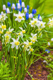 Early Dwarf Narcissi. Dwarf narcissi  Jack Snipes is an extra early variety of narcissus Stock Photos
