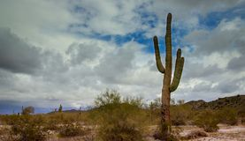 Early Evening Arizona desert cactus Tucson. Early Evening in Tucson Arizona desert cactus stock images