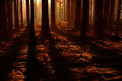 Early evening in autumn beech wood Royalty Free Stock Image