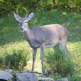 Early fall buck. Young buck whose hide has changed for fall stock photo