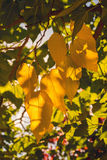 Early fall. Selective focus on leaves in early fall Royalty Free Stock Image