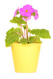 Primula Obconica. Early flowering primula Obconica in bright yellow ceramic pot isolated on white background in vertical format Royalty Free Stock Image