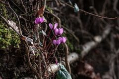 Early forest bloomers cyclamens on the wall. A group of Early forest bloomers cyclamens on the wall with roots stock photo