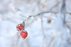 Early frost, branch of cranberry covered with snow Royalty Free Stock Photo