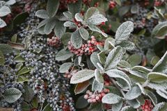 Frosted branch of Cotoneaster lacteus and Ligustrum lucid shrub in winter. Early frost on Cotoneaster lacteus and ligustrum lucid branch stock photos