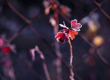 Early frosts. Macro photo of plants covered by ice crystals at cold autumn morning. Early frosts. Macro photo of plants covered by ice crystals at cold autumn Royalty Free Stock Image