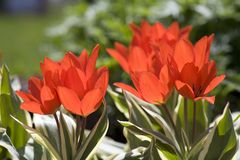 Early Greigii Tulips Stock Photography