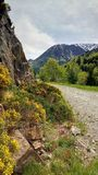 Flowering Spanish broom along Pyrenees road. In early June the Spanish broom, Spartium junceum, shows beautiful yellow flowers along one of the mountain roads in stock images