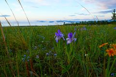 Irises in the steppe 5 minutes before sunrise. In early June, the steppe is covered with blooming flowers, before the sunrise strong dew fell on the flowers and stock photography