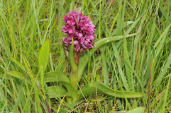 Early Marsh Orchid Royalty Free Stock Photography