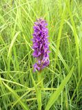 Early Marsh-orchid Royalty Free Stock Photo