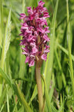 Early Marsh Orchid Royalty Free Stock Photo