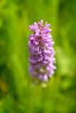 Early Marsh-orchid (Dactylorhiza incarnata). From Czech Republic Natural wetland reserve wheel Royalty Free Stock Photo