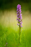 Early Marsh-orchid (Dactylorhiza incarnata). From Czech Republic Natural wetland reserve wheel Stock Images