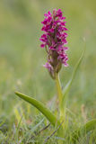 Early Marsh-orchid Royalty Free Stock Images