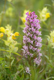 Early Marsh Orchid and Little Yellow Rattle Royalty Free Stock Photography