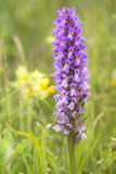 Early Marsh Orchid Stock Photo