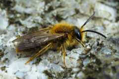 Early Mining Bee stock photography